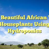 Grow Beautiful African Violet Houseplants Using Hydroponics