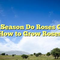 What Season Do Roses Grow – How to Grow Roses